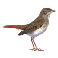 Nightingale2510
